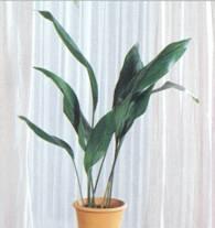 Домашнее растение Аспидистра