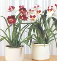 Растение Мильтония