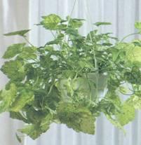 Домашнее растение Толмия