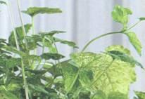 Растение Толмея