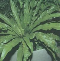 Домашнее растение Листовик