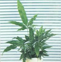 Домашнее растение Птерис критский
