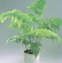 Домашнее растение Папоротник