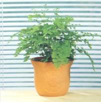Домашнее растение Адиантум
