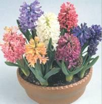 Домашнее растение Гиацинт
