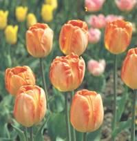 Домашнее растение Тюльпан