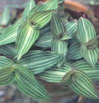 Домашнее растение Каллизия
