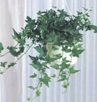Домашнее растение Плющ обыкновенный