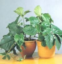 Домашнее растение Тетрастигма