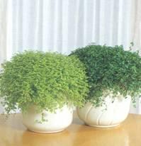 Домашнее растение Солейролия