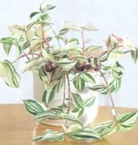 Домашнее растение Традесканция
