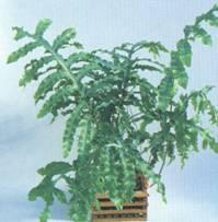 Домашнее растение Флебодиум
