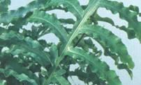 Растение Флебодиум