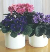 Домашнее растение Сенполия