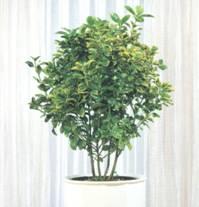 Домашнее растение Бересклет