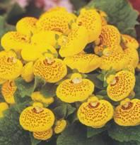 Домашнее растение Кальцеолярия