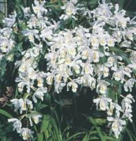 Домашнее растение Целогина