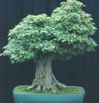 Домашнее растение Клен