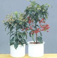 Домашнее растение Ардизия