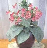 Домашнее растение Колерия