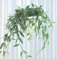 Домашнее растение Кодонанта