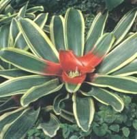 Домашнее растение Неорегелия