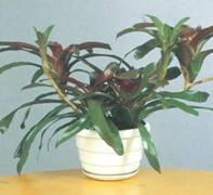Растение Неорегелия