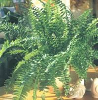 Домашнее растение Нефролепис