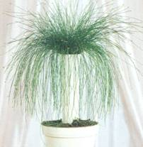 Домашнее растение Камыш поникший