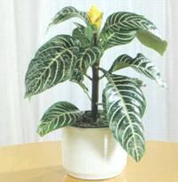 Домашнее растение Афеландра