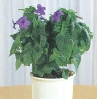 Домашнее растение Броваллия