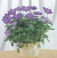 Домашнее растение Колокольчик