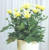 Домашнее растение Хризантема