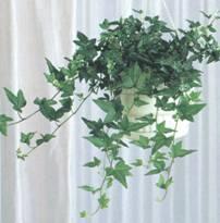Домашнее растение Плющ