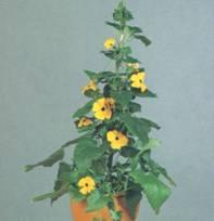 Домашнее растение Тунбергия