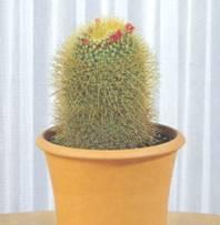 Домашнее растение Маммиллярия красноцветковая