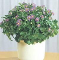 Домашнее растение Экзакум