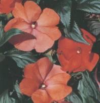 Домашнее растение Бальзамин