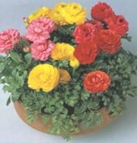 Домашнее растение Лютик