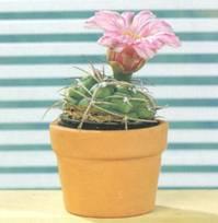 Домашнее растение Гимнокалициум