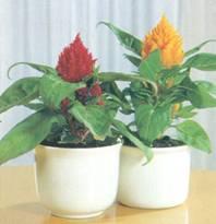 Домашнее растение Целозия