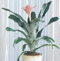 Домашнее растение Эхмея