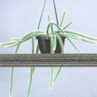Домашнее растение Апорокактус