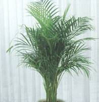 Домашнее растение Хризалидокарпус