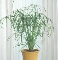 Домашнее растение Папирус