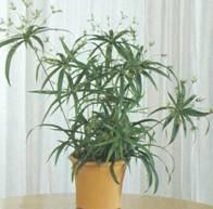 Растение Папирус