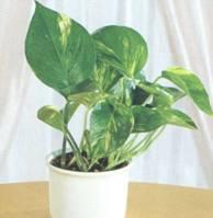 Домашнее растение Эпипремнум