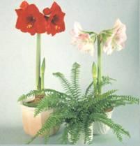 Домашнее растение Гиппеаструм