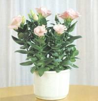 Домашнее растение Эустома