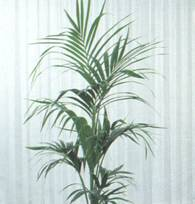 Домашнее растение Ховея